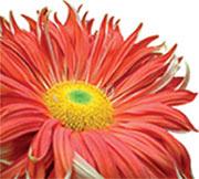 St John's Logo Flower