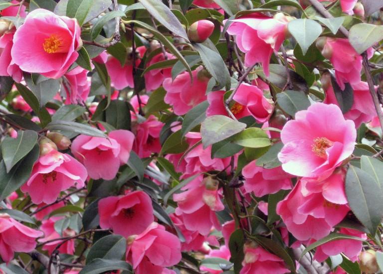 Camellia williamsii