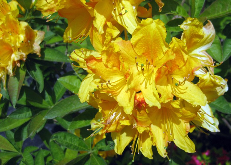 https://www.stjohnsgardencentre.co.uk/wp-content/uploads/2016/03/azales-yellow_768x550_acf_cropped.jpg