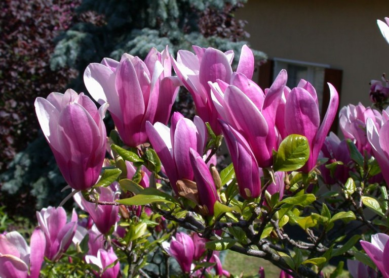 https://www.stjohnsgardencentre.co.uk/wp-content/uploads/2016/03/magnolia-susan_768x550_acf_cropped-1.jpg