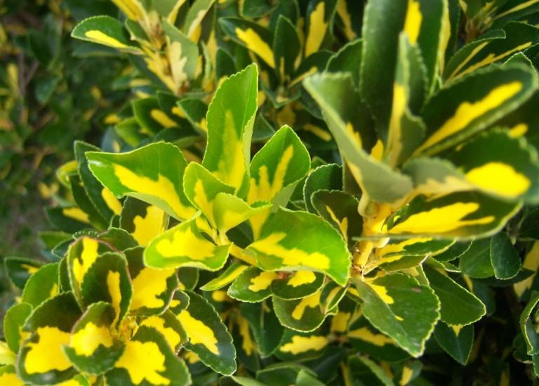 Euonymus japonicus Aureopictus