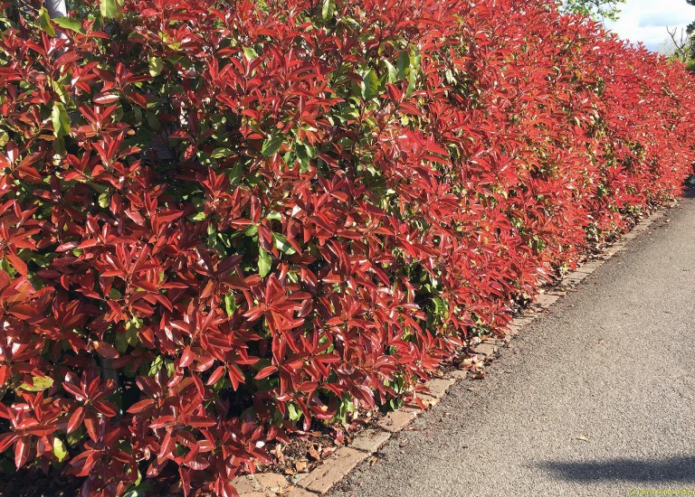 photinia-fraseri red-robin