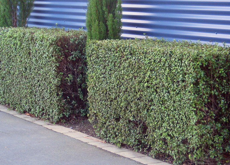 pittosporum hedging