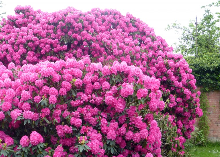 https://www.stjohnsgardencentre.co.uk/wp-content/uploads/2016/04/rhododendron_768x550_acf_cropped.jpg