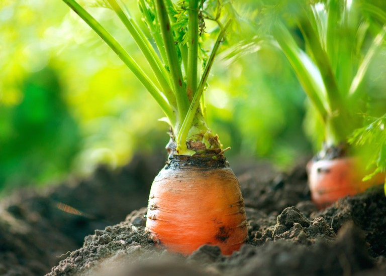 http://www.stjohnsgardencentre.co.uk/wp-content/uploads/2016/05/carrots_768x550_acf_cropped.jpg