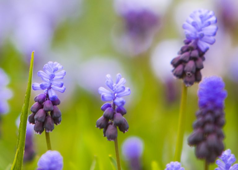 https://www.stjohnsgardencentre.co.uk/wp-content/uploads/2016/06/Lavender2-crop_768x550_acf_cropped.jpg