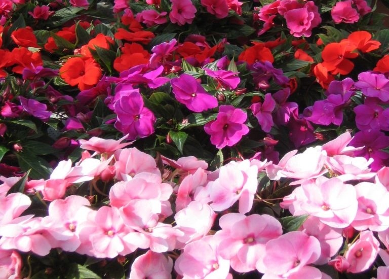 https://www.stjohnsgardencentre.co.uk/wp-content/uploads/2016/06/NewGuinea-Impatiens_768x550_acf_cropped-1.jpg