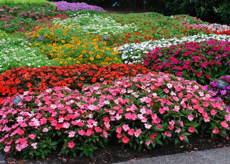 Impatiens_768x550_acf_cropped