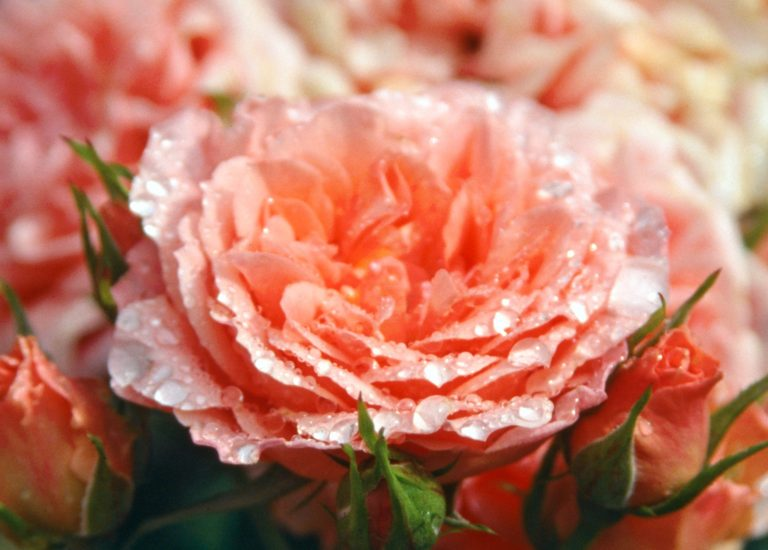https://www.stjohnsgardencentre.co.uk/wp-content/uploads/2016/07/Rosa-Sweet-Wonder1_768x550_acf_cropped.jpg