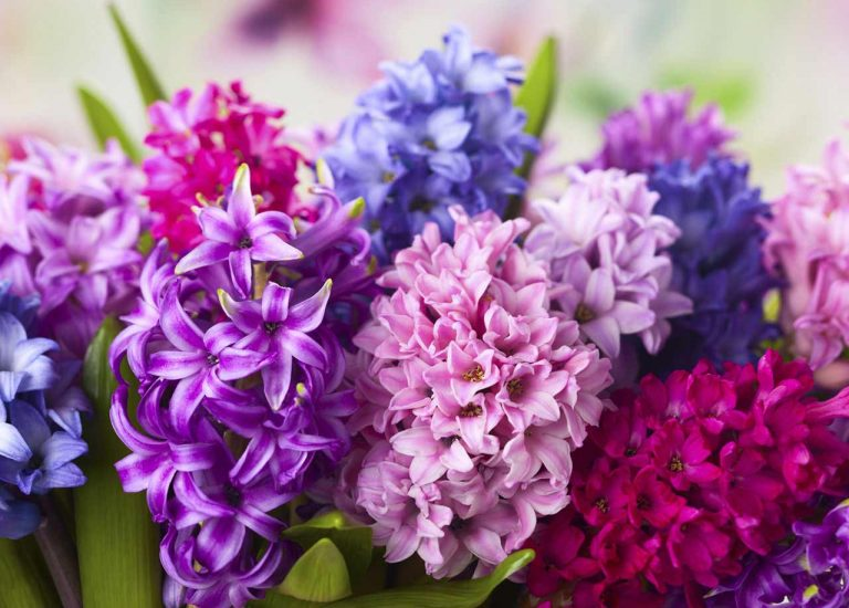 http://www.stjohnsgardencentre.co.uk/wp-content/uploads/2016/08/hyacinth_768x550_acf_cropped.jpg