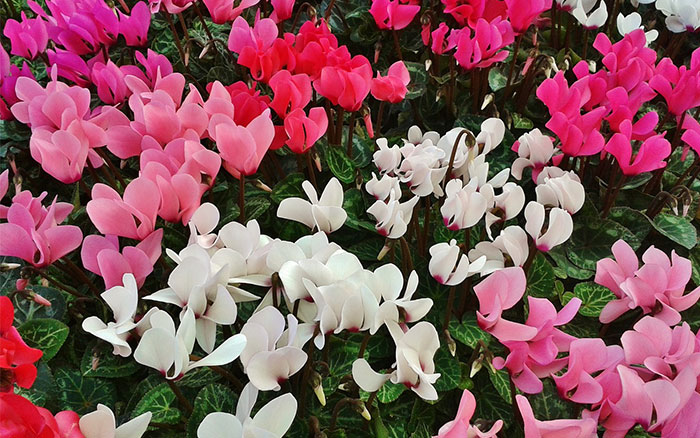 http://www.stjohnsgardencentre.co.uk/wp-content/uploads/2016/09/bedding-cyclamen.jpg