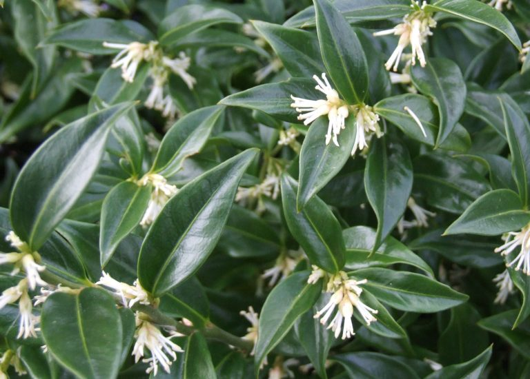 http://www.stjohnsgardencentre.co.uk/wp-content/uploads/2016/11/sarcococca_768x550_acf_cropped-1.jpg