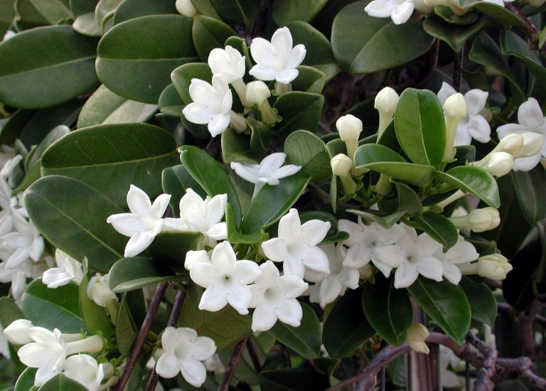 stephanotis_768x550_acf_cropped