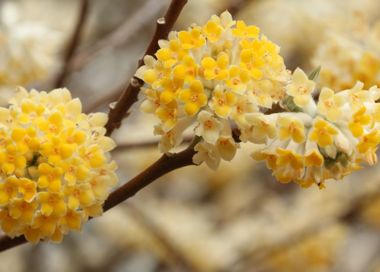 https://www.stjohnsgardencentre.co.uk/wp-content/uploads/2017/02/edgeworthia_768x550_acf_cropped.jpg
