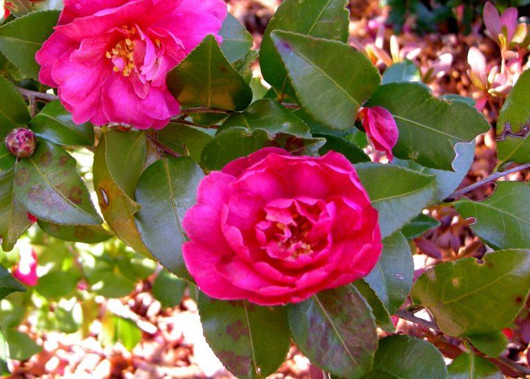 Camellia 'Autumn Spirit'