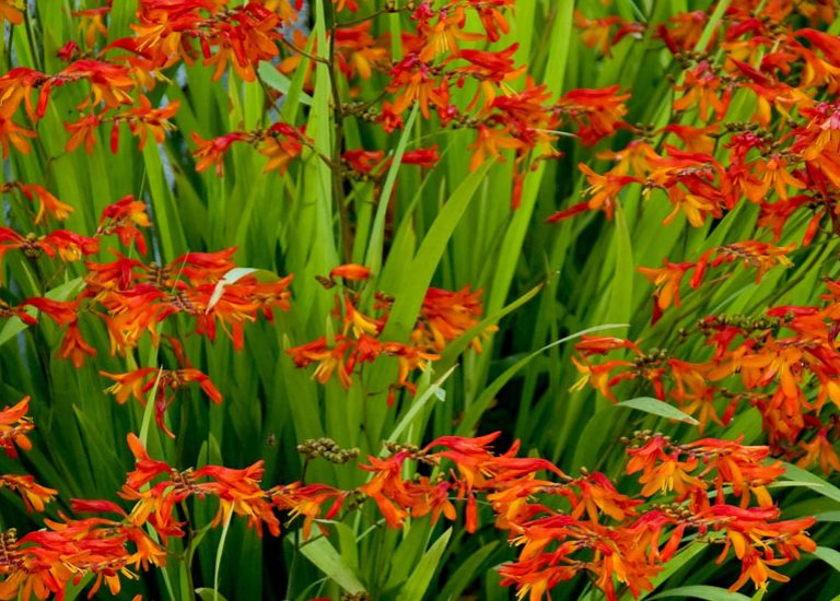 http://www.stjohnsgardencentre.co.uk/wp-content/uploads/2017/03/crocosmia_768x550_acf_cropped.jpg