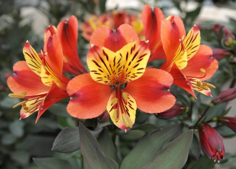 https://www.stjohnsgardencentre.co.uk/wp-content/uploads/2017/05/alstroemeria-indian-summer_768x550_acf_cropped.jpg