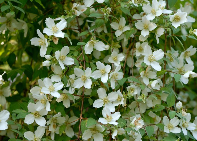 https://www.stjohnsgardencentre.co.uk/wp-content/uploads/2017/05/philadephus-mock-orange-1_768x550_acf_cropped.jpg