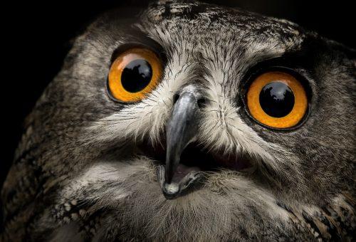 Owl huge