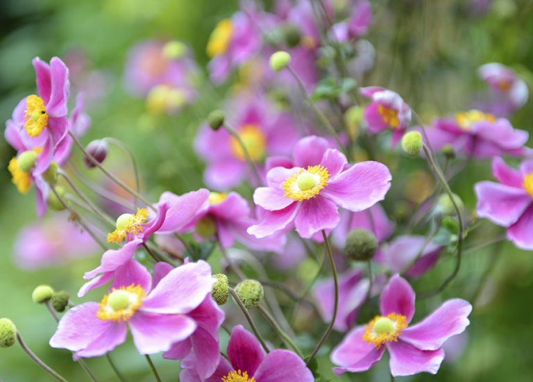 https://www.stjohnsgardencentre.co.uk/wp-content/uploads/2017/08/anemone-japonica-japanese-anenome_768x550_acf_cropped.jpg