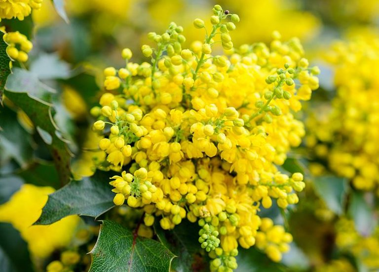 https://www.stjohnsgardencentre.co.uk/wp-content/uploads/2017/10/mahonia3_768x550_acf_cropped.jpg