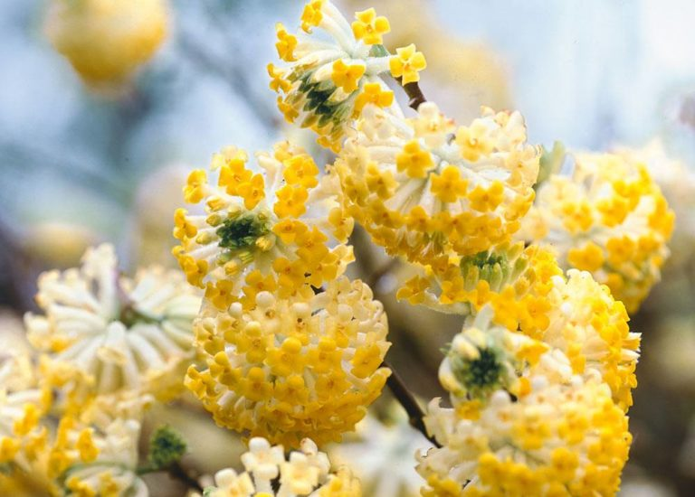 https://www.stjohnsgardencentre.co.uk/wp-content/uploads/2018/02/edgeworthia_768x550_acf_cropped.jpg