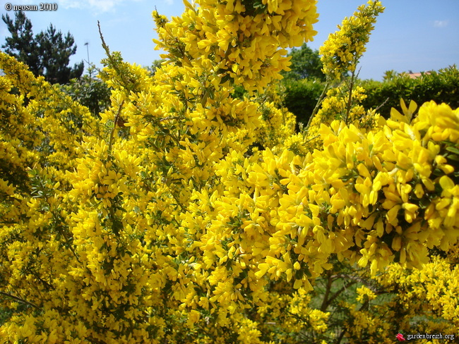 https://www.stjohnsgardencentre.co.uk/wp-content/uploads/2018/04/genista-porlock2.jpg