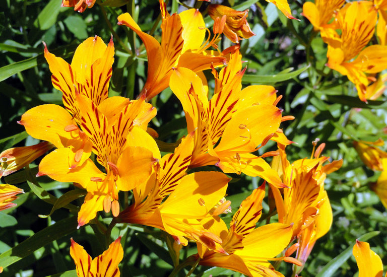 https://www.stjohnsgardencentre.co.uk/wp-content/uploads/2018/06/Alstroemeria-Peruvian-lily_768x550_acf_cropped.jpg