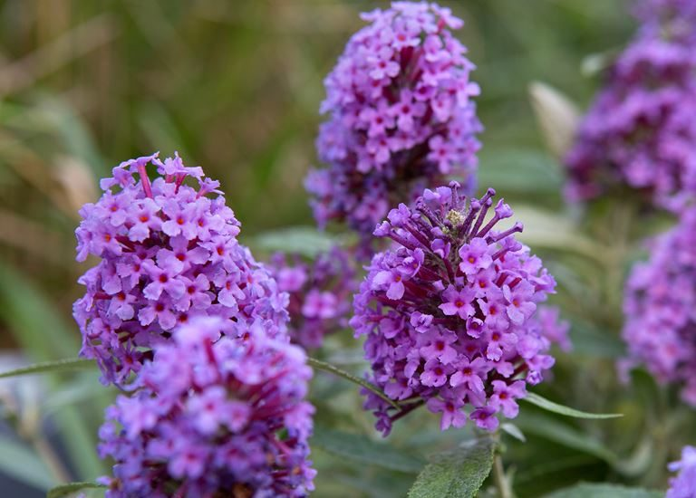 https://www.stjohnsgardencentre.co.uk/wp-content/uploads/2018/07/buddleja-buzz_768x550_acf_cropped-1.jpg