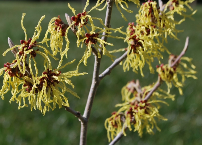 https://www.stjohnsgardencentre.co.uk/wp-content/uploads/2019/01/hamamelis_768x550_acf_cropped.jpg