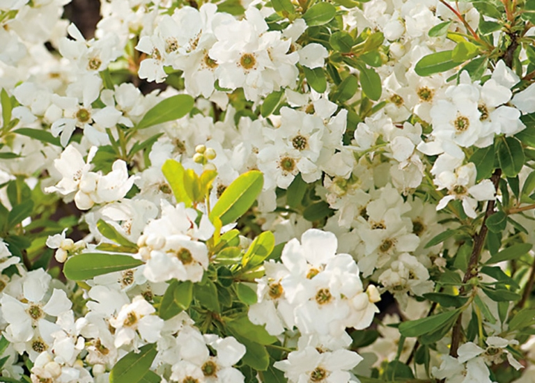 https://www.stjohnsgardencentre.co.uk/wp-content/uploads/2019/04/exochorda_768x550_acf_cropped.jpg