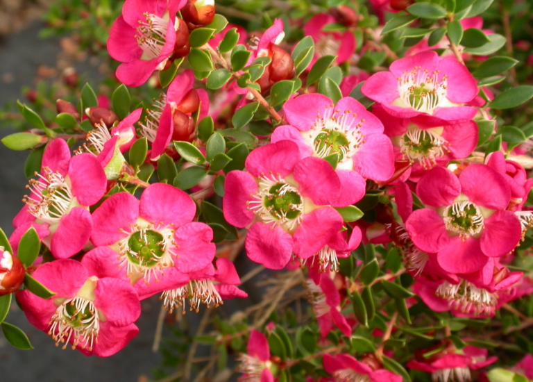 https://www.stjohnsgardencentre.co.uk/wp-content/uploads/2019/05/Leptospermum_768x550_acf_cropped.jpg
