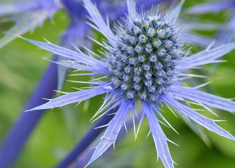 https://www.stjohnsgardencentre.co.uk/wp-content/uploads/2019/05/erynbium-sea-holly_768x550_acf_cropped.jpg