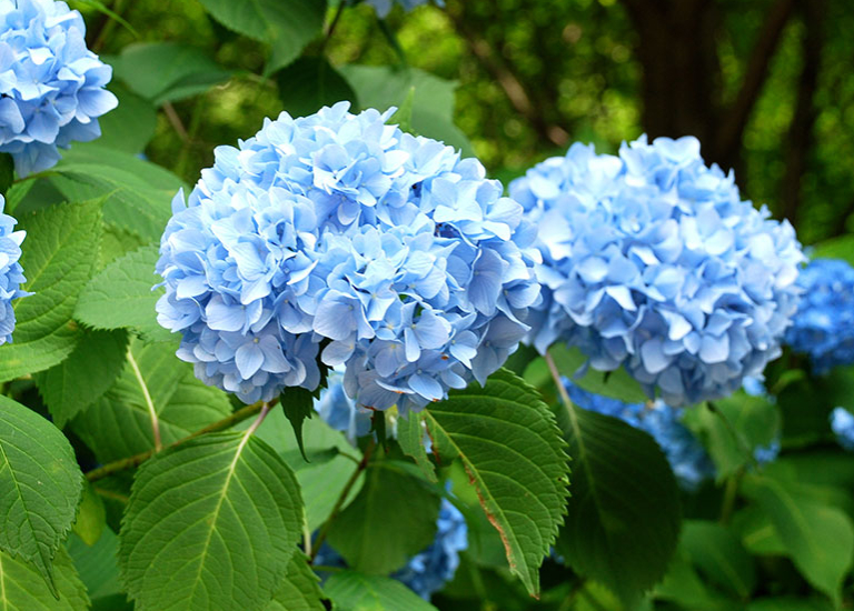 https://www.stjohnsgardencentre.co.uk/wp-content/uploads/2019/07/hydrangea_768x550_acf_cropped.jpg