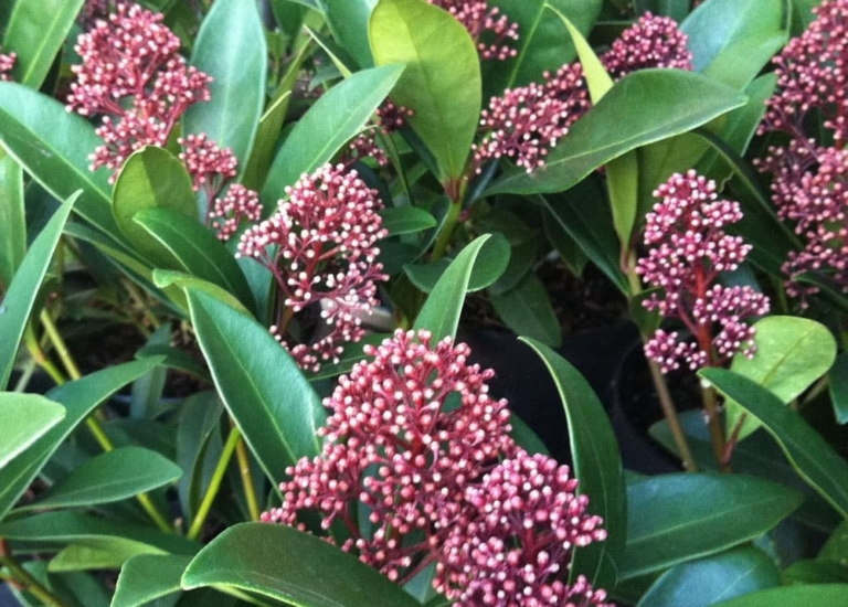 https://www.stjohnsgardencentre.co.uk/wp-content/uploads/2019/11/skimmia_768x550_acf_cropped.jpg