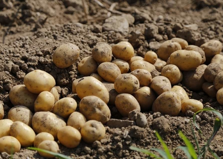 https://www.stjohnsgardencentre.co.uk/wp-content/uploads/2020/01/Seed-Potatoes_768x550_acf_cropped.jpg