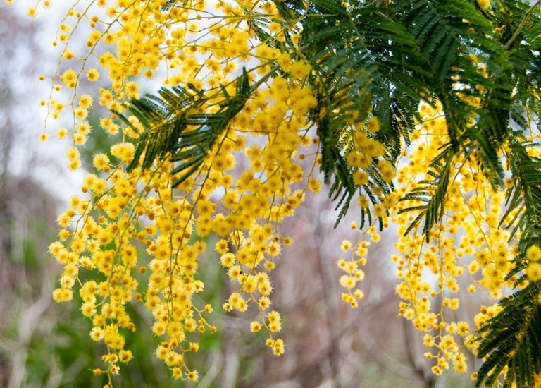 Mimosa-7_768x550_acf_cropped