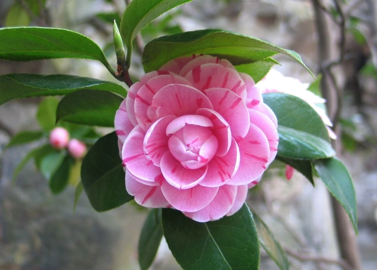 https://www.stjohnsgardencentre.co.uk/wp-content/uploads/2020/03/Camelia_768x550_acf_cropped.jpeg