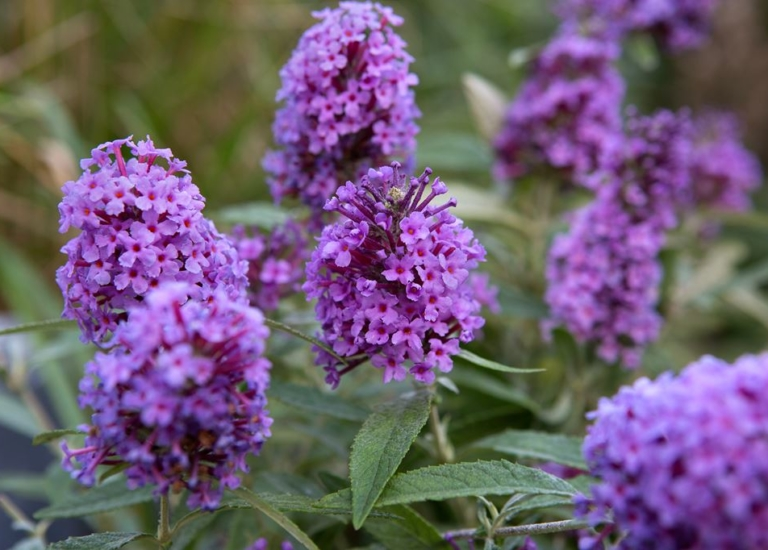 https://www.stjohnsgardencentre.co.uk/wp-content/uploads/2020/04/buddleja-buzz_768x550_acf_cropped.jpg