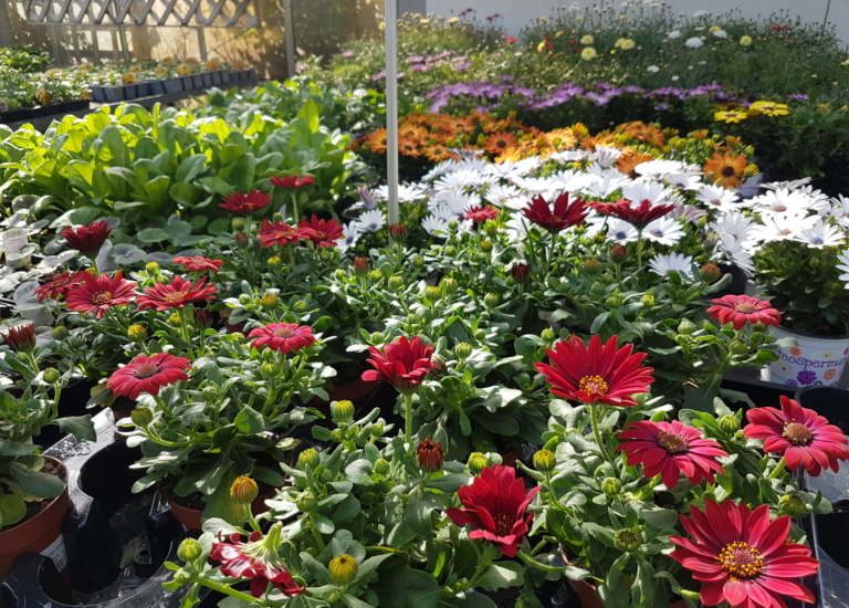 https://www.stjohnsgardencentre.co.uk/wp-content/uploads/2020/05/Bedding-Plants-May2-2020_768x550_acf_cropped-1.jpg