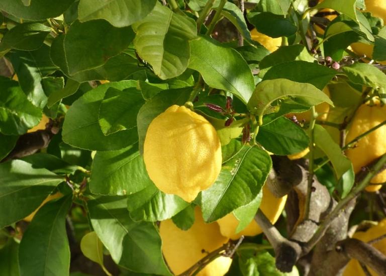 lemon-tree-fruit-citrus