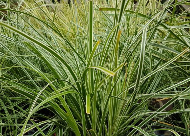 Carex 2