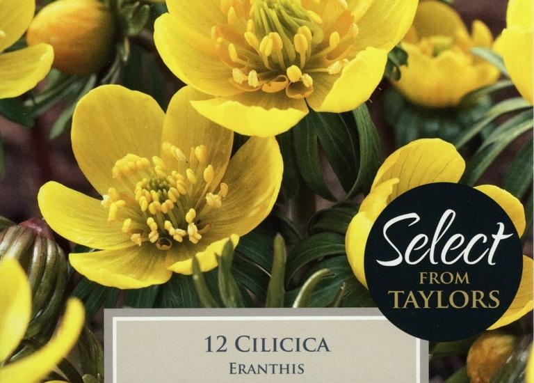 SE738 Eranthis Cilicica (2)